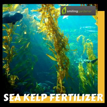sea kelp fertilizer